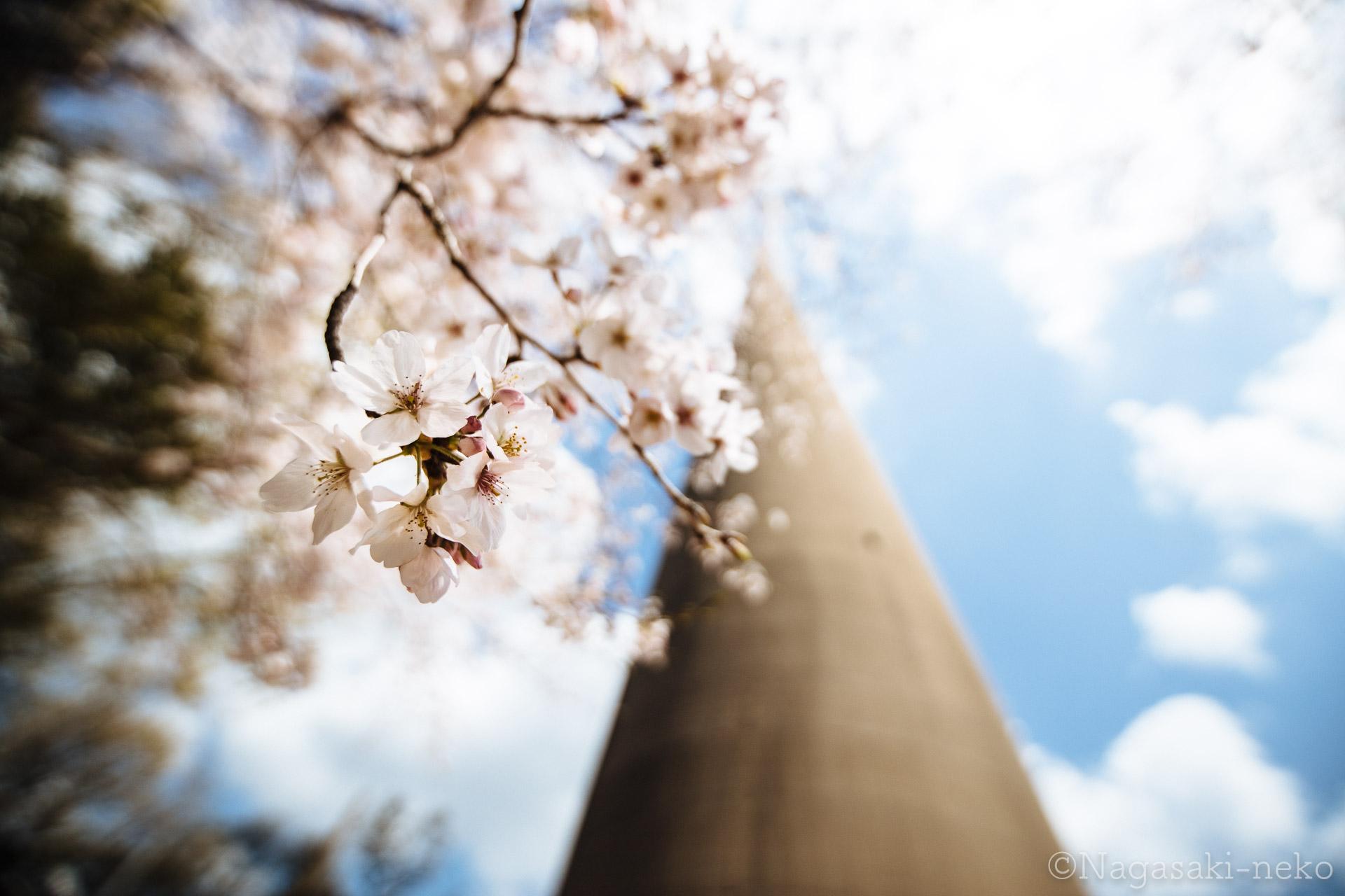 針尾送信所の桜