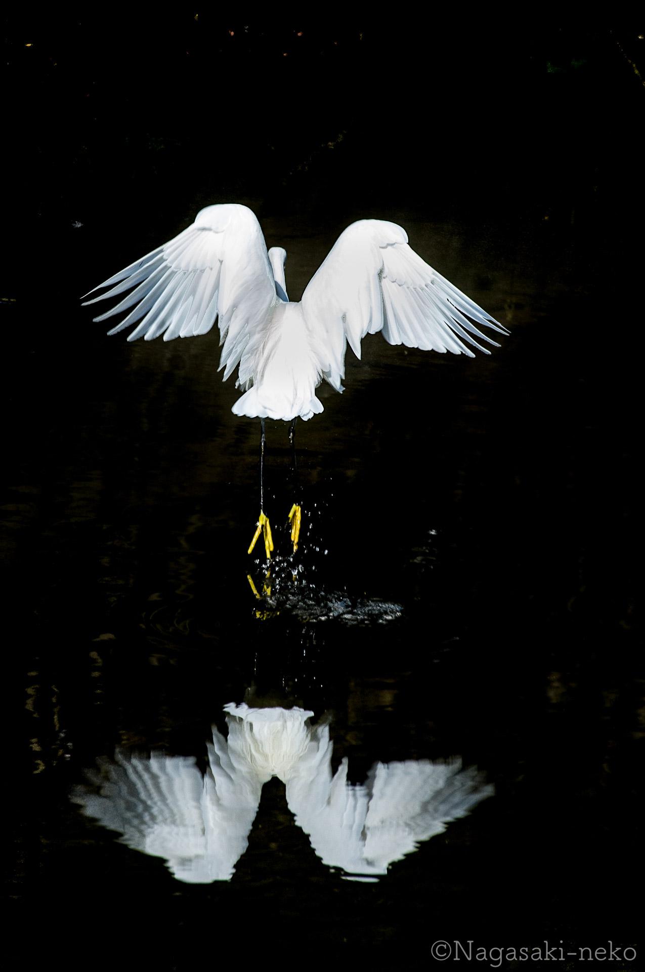 中島川の白鷺