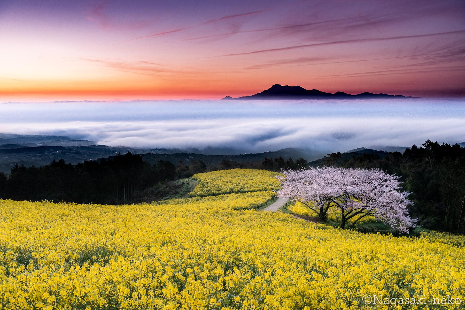 白木峰高原の桜と菜の花