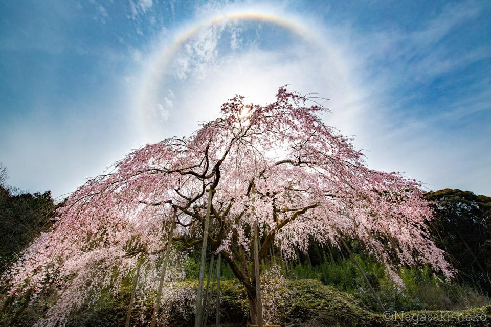 波佐見町 田ノ頭郷のしだれ桜