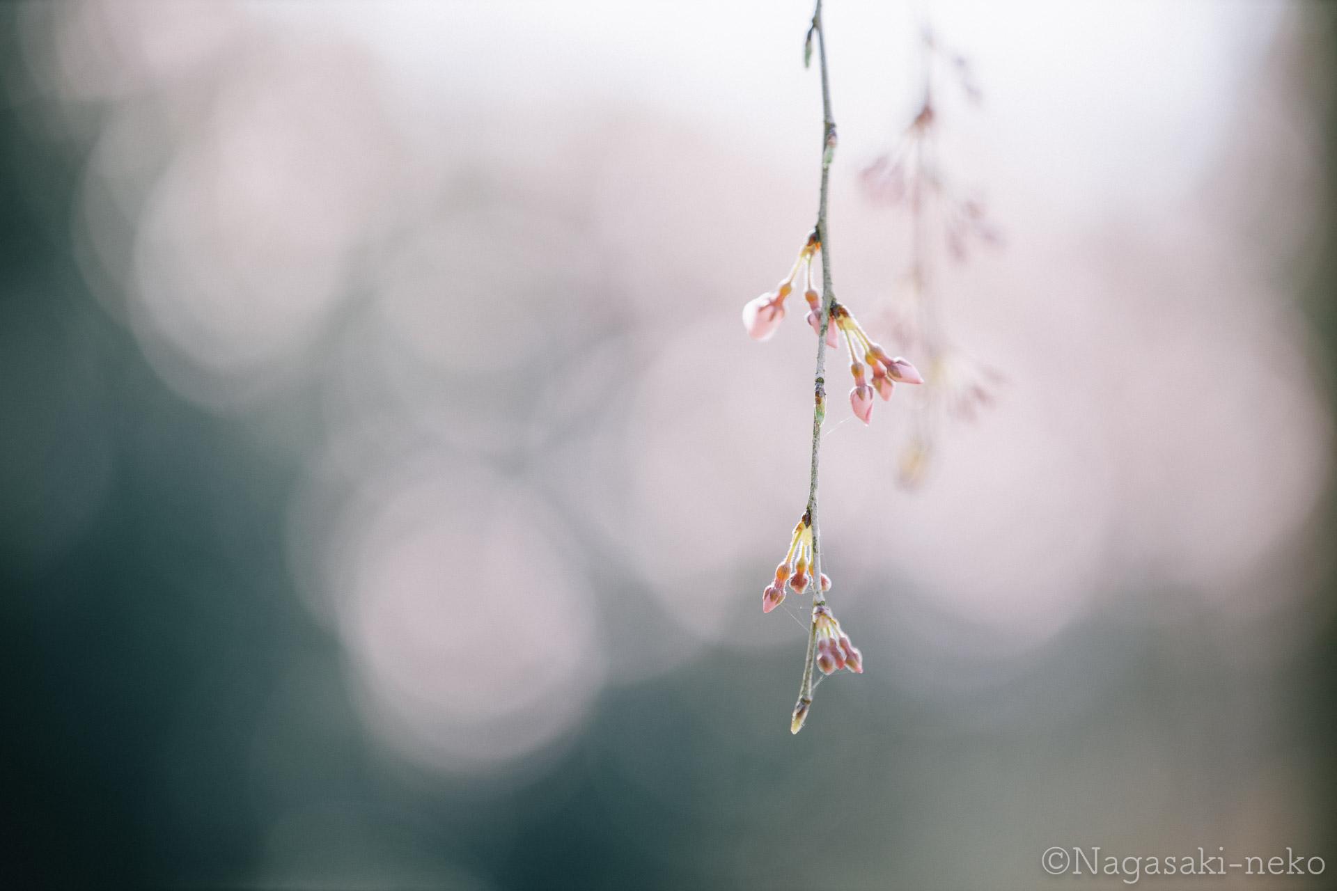 田の頭のしだれ桜